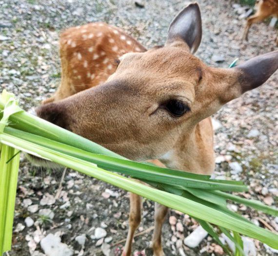 【遊玩】宜蘭 / 斑比山丘 與梅花鹿零距離 療癒之賞鹿行程
